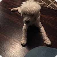 Toy Poodle Dog for adoption in Von Ormy, Texas - Prince