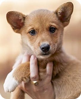 Corgi Mix Puppy for adoption in Lakewood, Colorado - Juliette