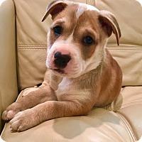 Adopt A Pet :: Bud - Nyack, NY