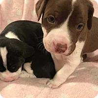 Adopt A Pet :: Buttercup(Braylee pup 3) - Wenonah, NJ