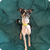 Chihuahua Mix Puppy for adoption in Saddle Brook, New Jersey - Marty