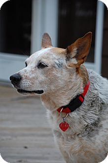 Australian Cattle Dog Mix Dog for adoption in Douglas, Ontario - Abby