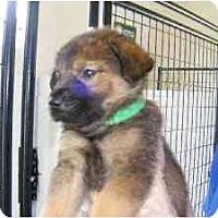 Adopt A Pet :: Chauncy - Alexandria, VA