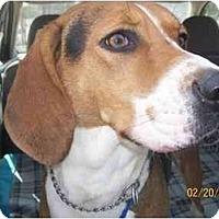 Adopt A Pet :: Drew - Albany, NY