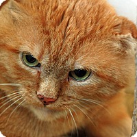 Domestic Shorthair Cat for adoption in St. Louis, Missouri - Jack