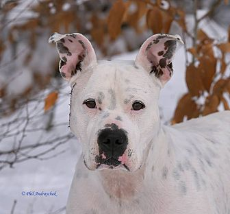 Dogo Argentino/Boxer Mix Dog for adoption in Westminster, Maryland - Buster White