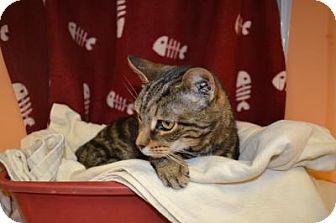 Domestic Shorthair Cat for adoption in East Smithfield, Pennsylvania - Elphaba
