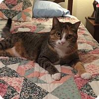 Domestic Shorthair Cat for adoption in Yukon, Oklahoma - Cyri
