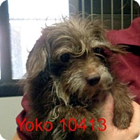 Adopt A Pet :: Yoko - baltimore, MD