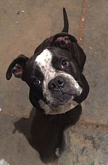 English Bulldog/Boxer Mix Dog for adoption in Long Beach, California - Brandy