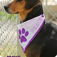 Adopt A Pet :: Simone - Camden, DE