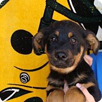 Adopt A Pet :: Hercules - Oviedo, FL
