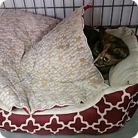 Adopt A Pet :: Tortilla - Plainville, MA