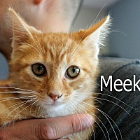 Domestic Shorthair Kitten for adoption in Wichita Falls, Texas - Meeko