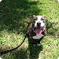 Pit Bull Terrier Mix Dog for adoption in West Palm Beach, Florida - Jessie