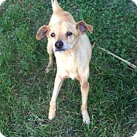 Chihuahua Mix Dog for adoption in Va Beach, Virginia - Benji