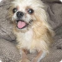 Shih Tzu Mix Dog for adoption in Memphis, Tennessee - Charlie