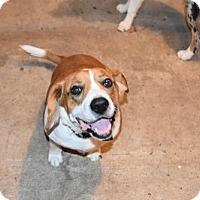 Beagle/St. Bernard Mix Dog for adoption in Liberty, Missouri - Beethoven