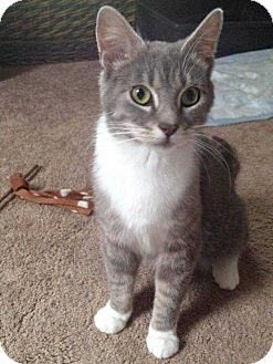Domestic Shorthair Cat for adoption in South Bend, Indiana - Paisley