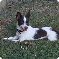 Adopt A Pet :: Suri - Staunton, VA