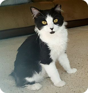 Domestic Longhair Cat for adoption in Temecula, California - Nolie