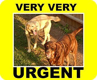Labrador Retriever Dog for adoption in Austin, Texas - Sammie