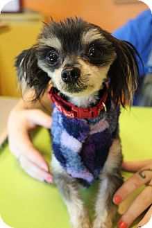 Papillon Mix Dog for adoption in New Orleans, Louisiana - Ron Burgundy