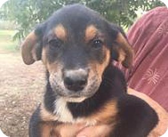 Rottweiler Mix Puppy for adoption in Patterson, New York - Helen