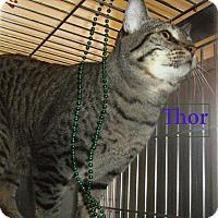 Domestic Shorthair Cat for adoption in El Cajon, California - Thor