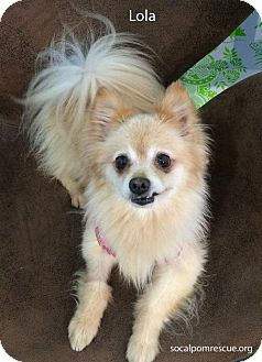 Pomeranian Dog for adoption in Irvine, California - Lola