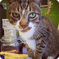 Domestic Shorthair Cat for adoption in Kenner, Louisiana - Truman