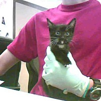 Siamese Kitten for adoption in Conroe, Texas - A277347