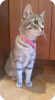 Domestic Shorthair Cat for adoption in Bridgewater, New Jersey - ROSE