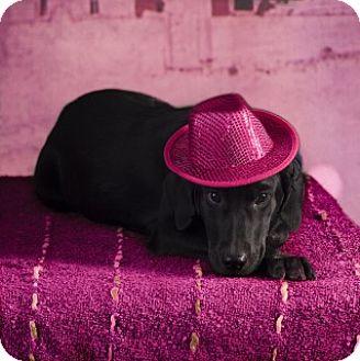 Labrador Retriever Mix Puppy for adoption in Clarksville, Arkansas - Kay
