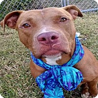 Pit Bull Terrier Dog for adoption in Tavares, Florida - MARCELLA