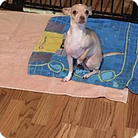 Chihuahua Mix Dog for adoption in Newport, Kentucky - Marisol
