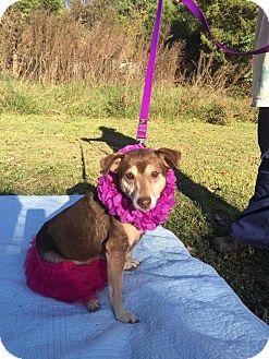 Shepherd (Unknown Type)/Terrier (Unknown Type, Medium) Mix Dog for adoption in Salisbury, North Carolina - Kate