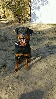 Rottweiler Dog for adoption in Laurel, Montana - Daisy