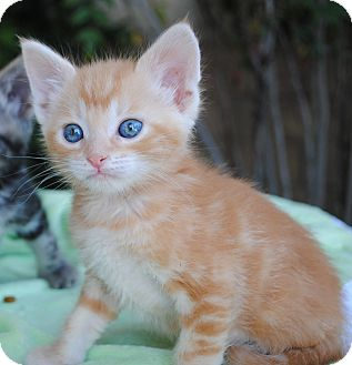 Domestic Shorthair Kitten for adoption in Palmdale, California - Tobie