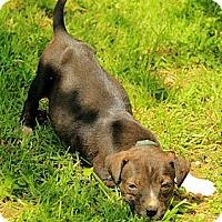 Adopt A Pet :: Meagan - Staunton, VA