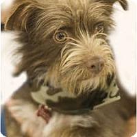 Adopt A Pet :: Felix - Arlington, TX