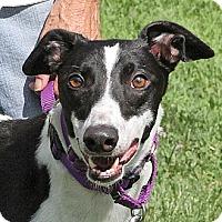 Adopt A Pet :: Runner - Santa Rosa, CA