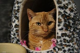 Domestic Shorthair Cat for adoption in New Milford, Connecticut - Carrot Cake