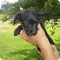 Adopt A Pet :: Carla - Plainfield, CT