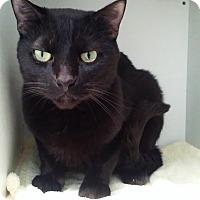 Adopt A Pet :: Raven Hachi - Diamond Springs, CA