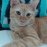 Domestic Shorthair Cat for adoption in Sunny Isles Beach, Florida - Redford
