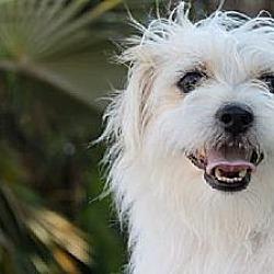 Photo 3 - Terrier (Unknown Type, Medium)/Shih Tzu Mix Puppy for adoption in Davie, Florida - Baby Theodore
