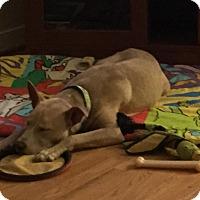 Adopt A Pet :: Gretchen - Midlothian, VA