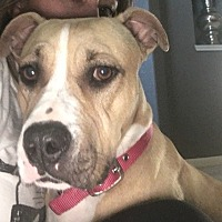 American Staffordshire Terrier Mix Dog for adoption in Houston, Texas - Khaleesi