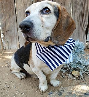 Beagle Dog for adoption in Apple Valley, California - Fletcher